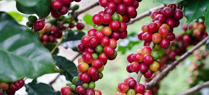 Direct-Trade-Coffee-Fair-Trade-Coffee-Achilles-Coffee-Roasters