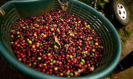 Coffee as an Antioxidant Achilles Coffee Roasters