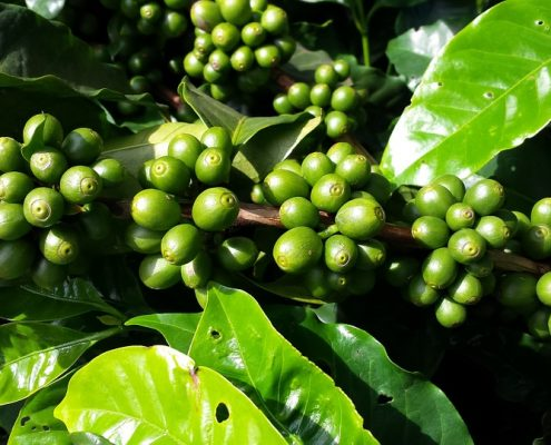 Coffee Cherries The Bean Belt Coffee Growing Regions