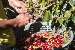 Climate Change Harvesting Coffee Beans in Costa Rica